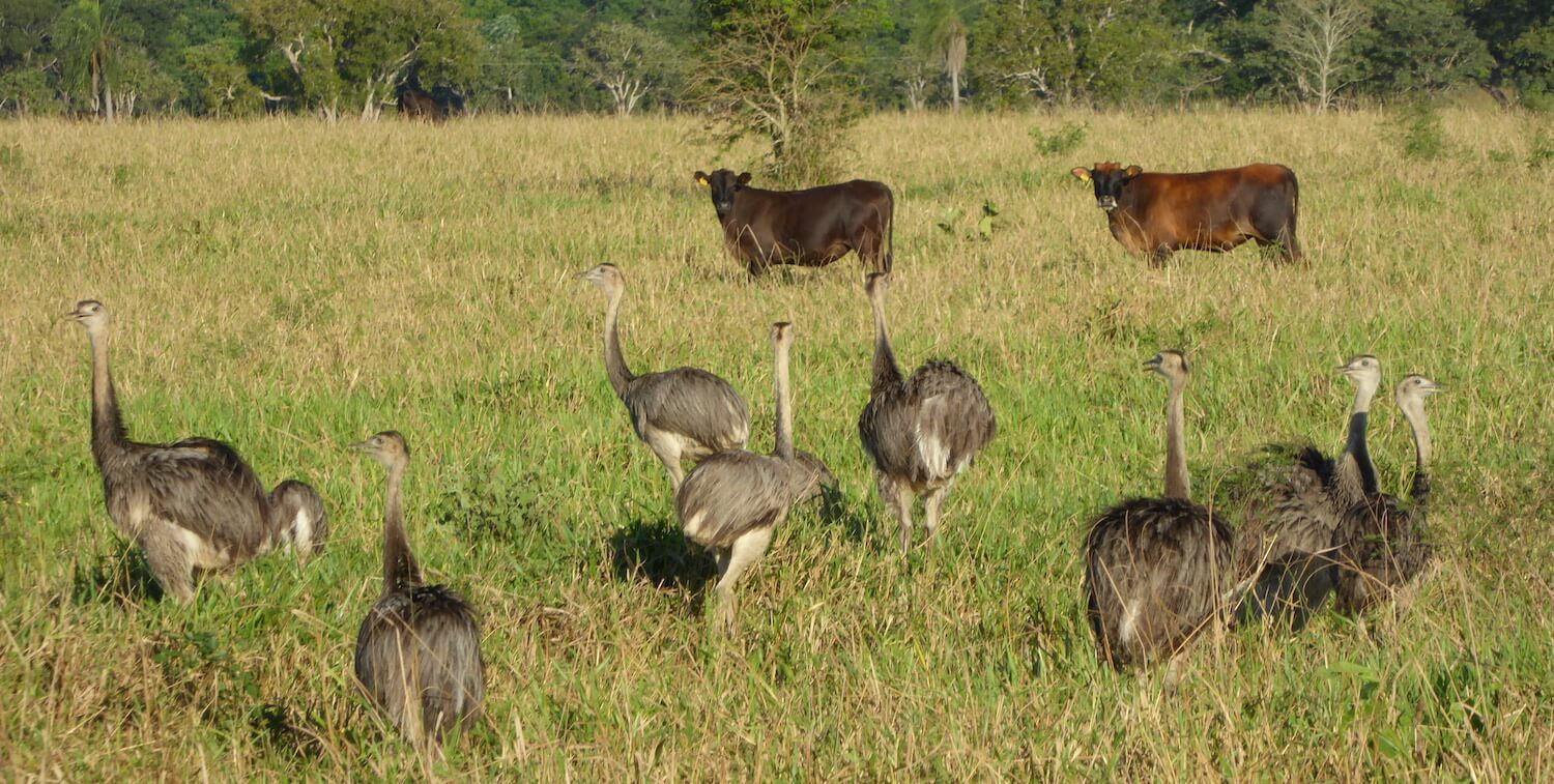 8 ostriches and 2 cows in a field.