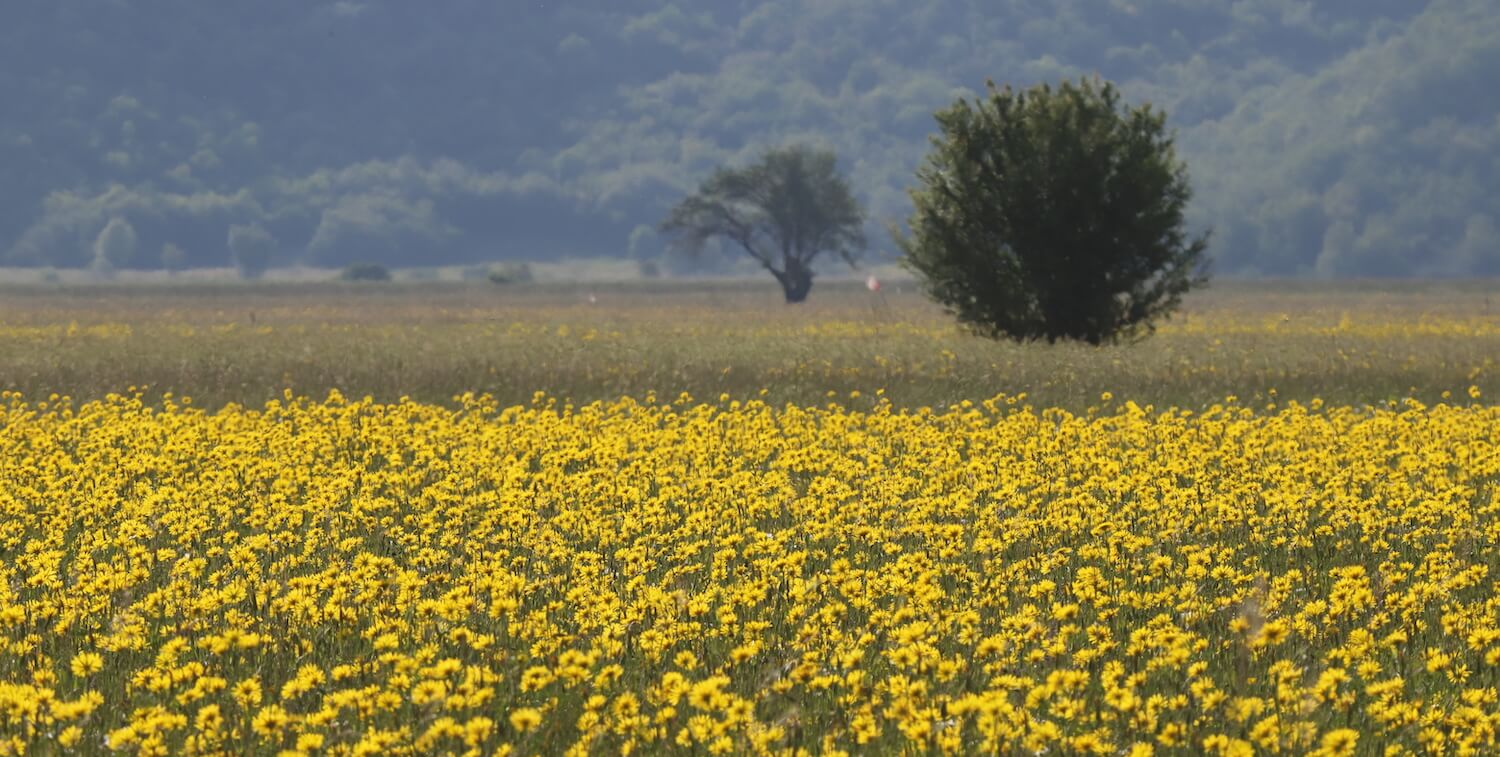 Field filled with yellow flowers.