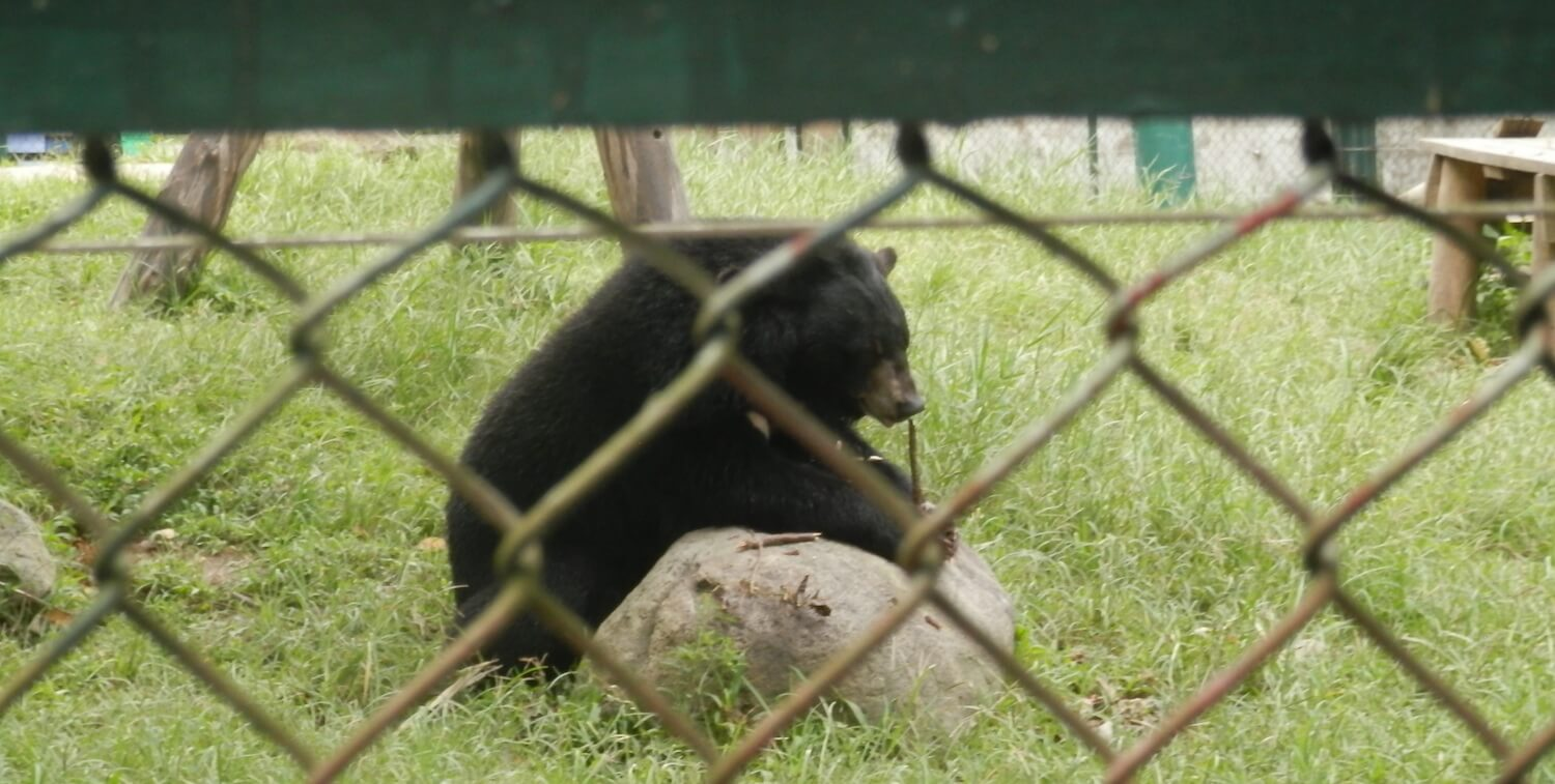 Bear behind chain-link fence.