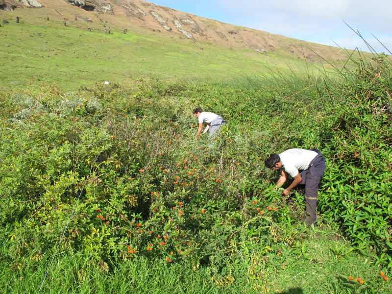 Two people on lush, green hill bending down to remove invasive plants.