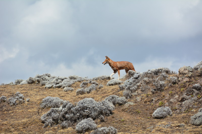 Wolf, with reddish fur, crossing rocky landscape; cloudy sky in background.
