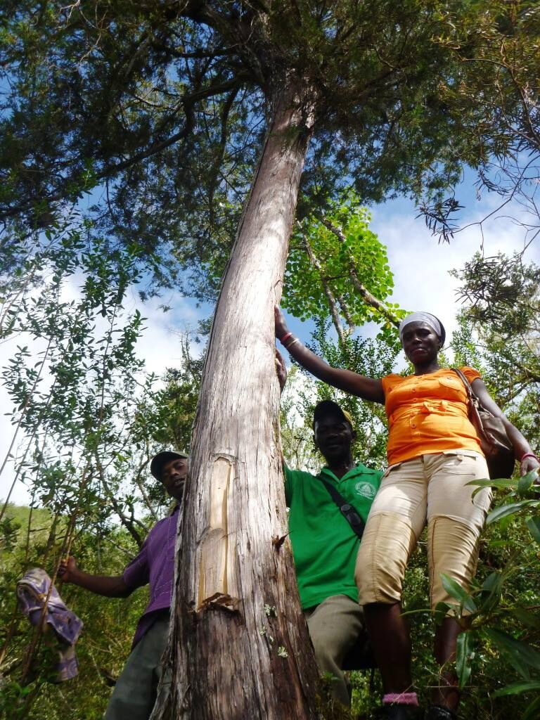 A rare Juniper tree, Juniperus eckmanii, grows in Haiti's Forêt des Pin. The National Botanical Conservatory of Brest participates in conservation efforts for the rare tree.