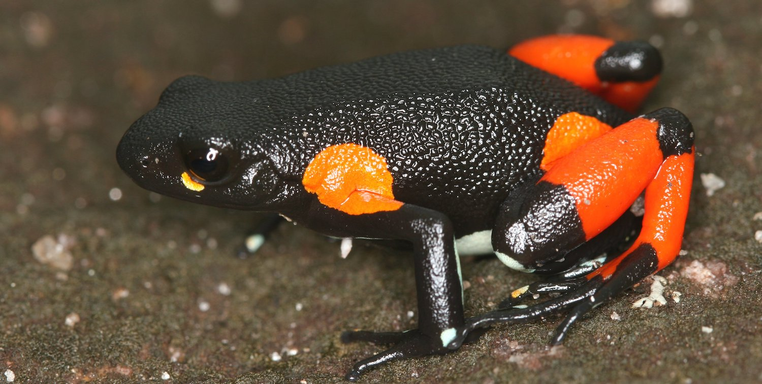 Close-up of black frog with bright orange markings.