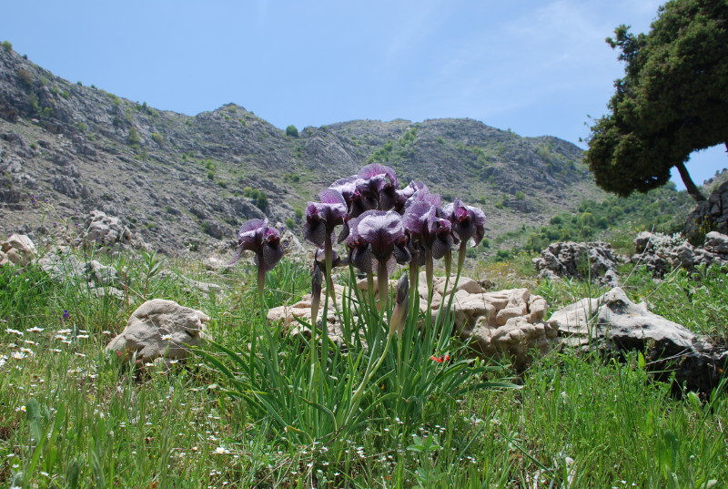 Cluster of delicate purple irises amongst grass, large hills in background.