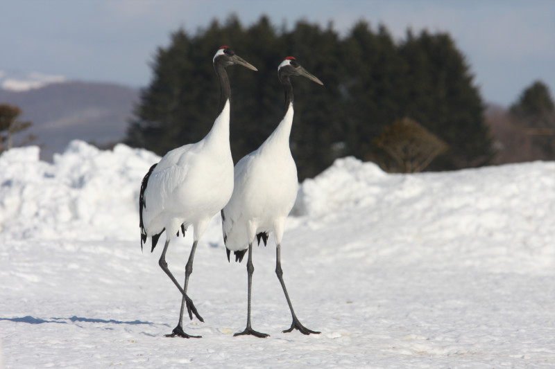 Two large largely-white cranes standing on snowy ground.
