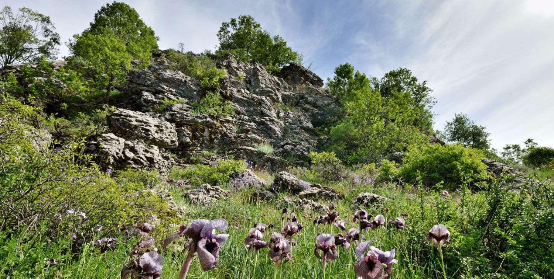 A view of the flowering of Iris sofarana, endemic to Mount Lebanon.