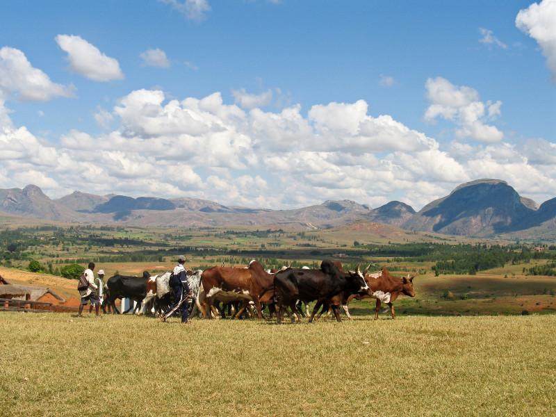 Three men with a dozen cows amid grazing land.