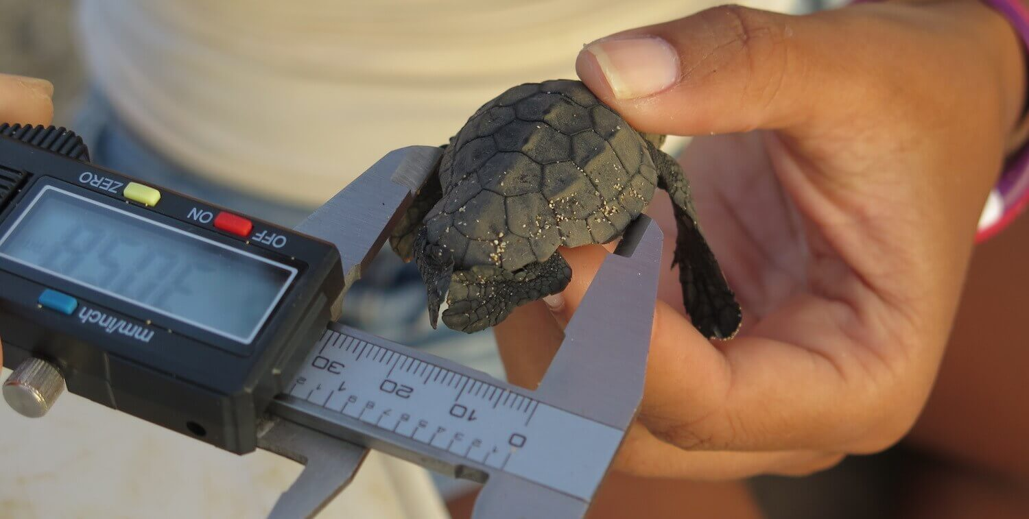 Close-up of very small sea turtle held in one hand and being measured with instrument in the other.
