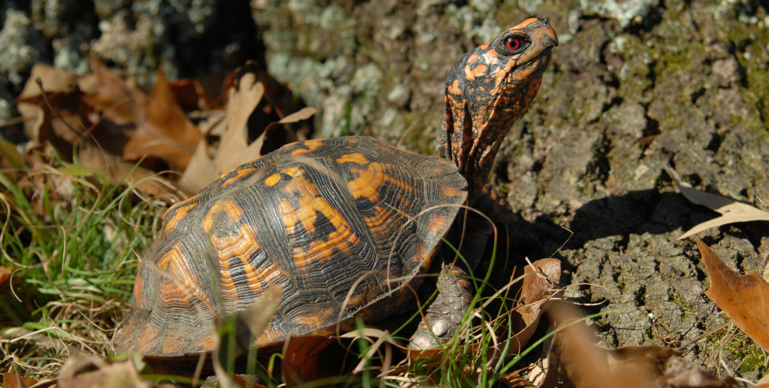An Eastern box turtle (Terrapene carolina carolina) stands next to a tree on the floor of a Maryland forest.