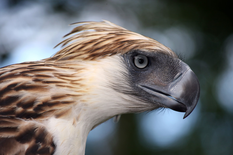 Close-up of Philippine eagle head: brown feathers, white neck, and black face and beak.