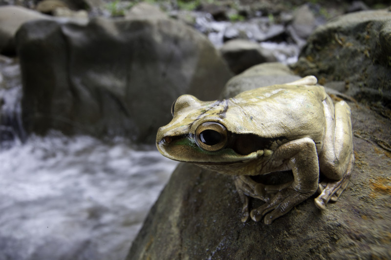 Close-up of light-brown frog on rock, river in background.