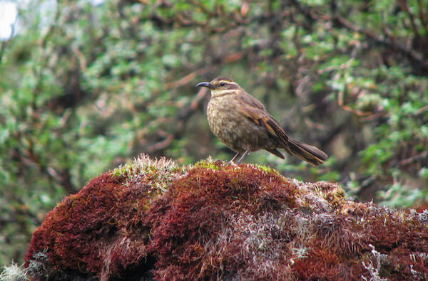 Close-up of brown and yellow bird standing on reddish moss.
