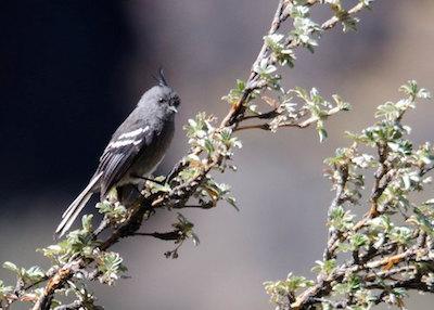 Close-up of light-blue bird on thin tree branch.