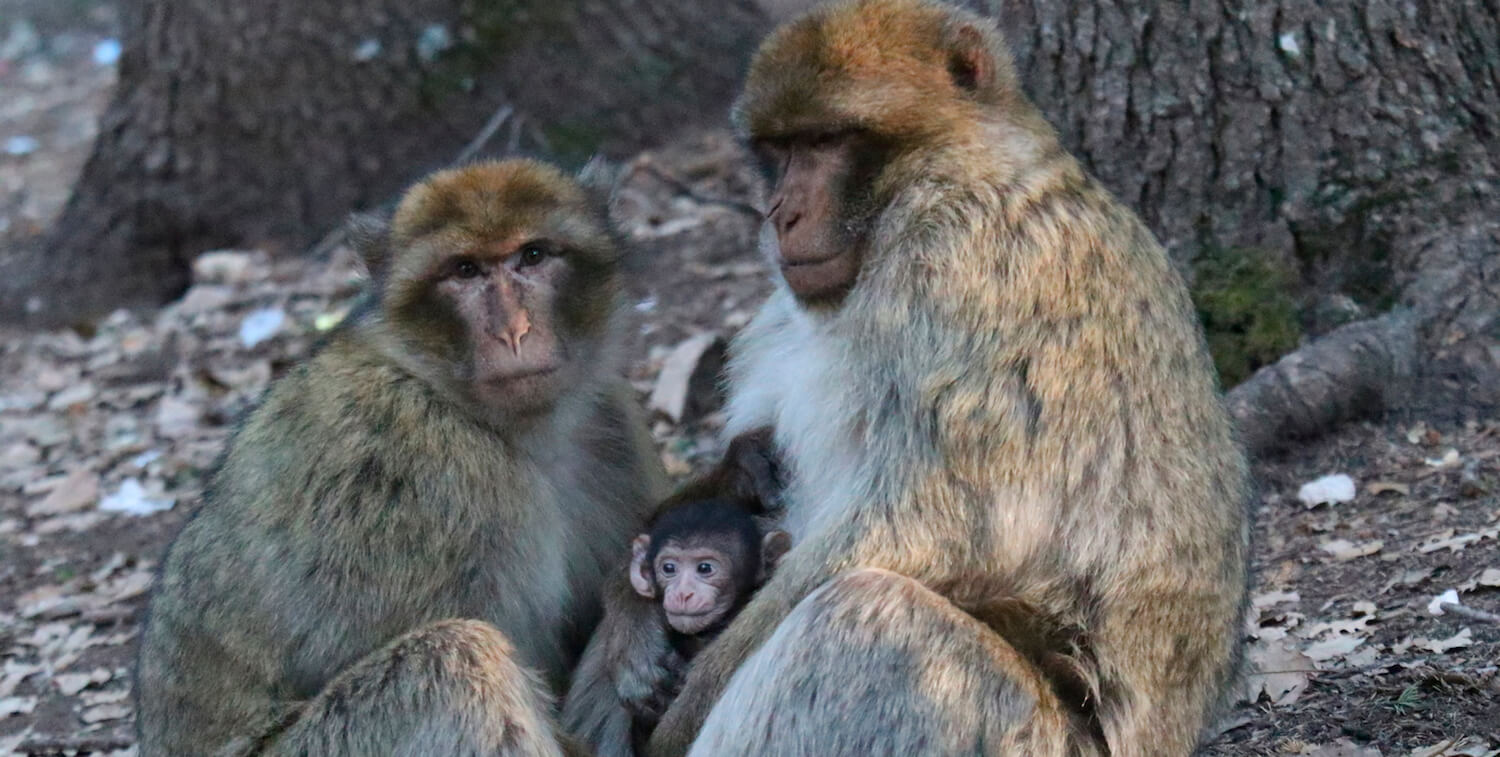 Two adult macaques, one baby, sitting on ground.