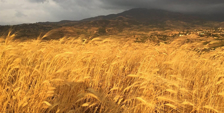Field of golden barley.