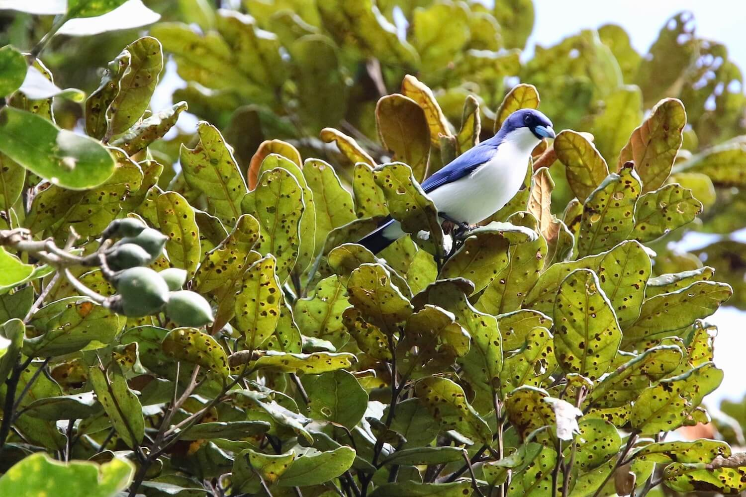 Close-up of blue-and-white bird sitting on bright-green tree.