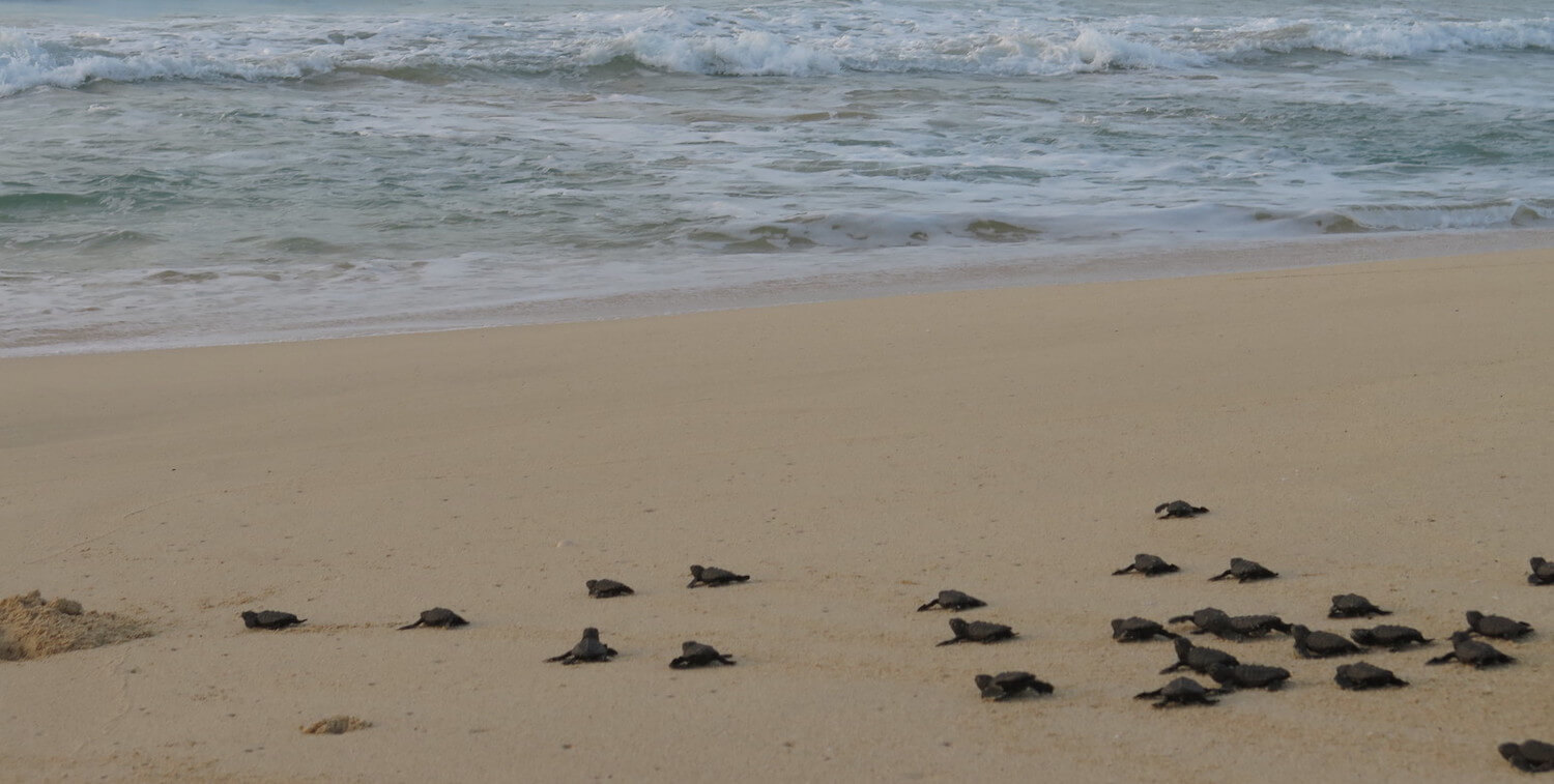 Sea turtle hatchlings making their way across a beach.