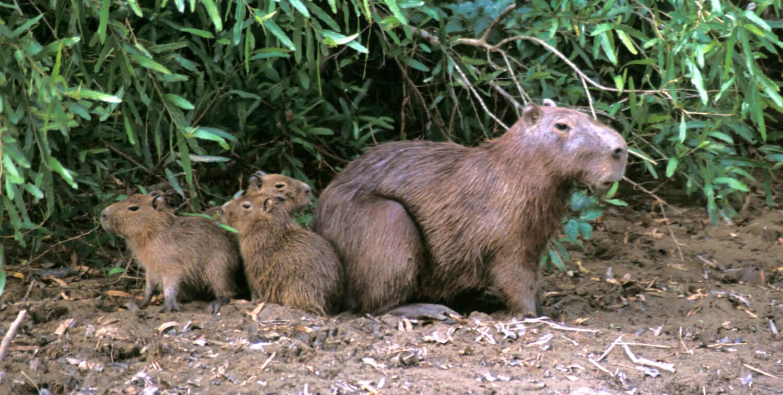 One full-grown capybara with 3 small capybara.