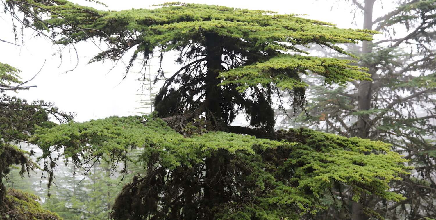 Large pine tree in forest.