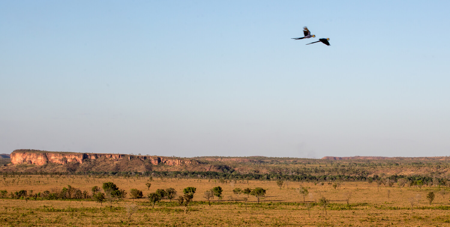 Two macaws flying high over flat, golden landscape.