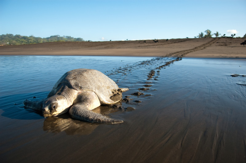 Large sea turtle making her away across the beach, flipper prints in the sand behind her.