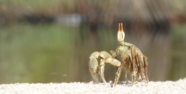 Close-up of crab with eyestalks, on beach.