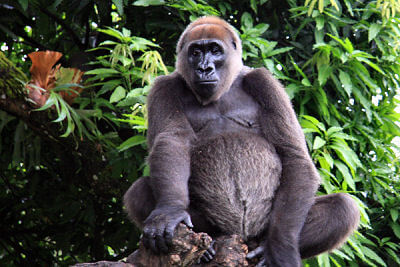 Close-up of gorilla sitting.