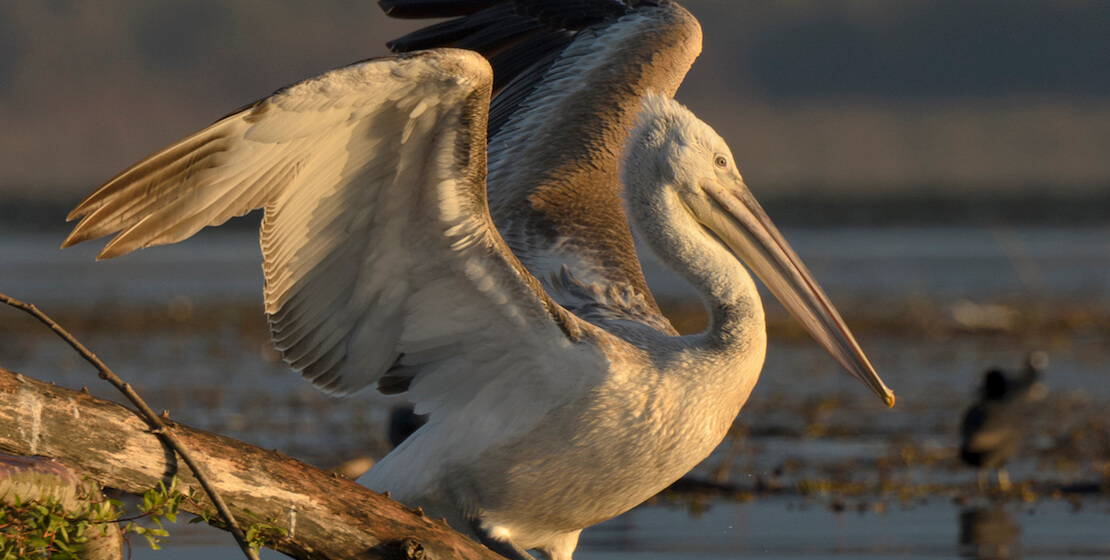 Close-up of Dalmatian pelican spreading his wings, on branch atop water.
