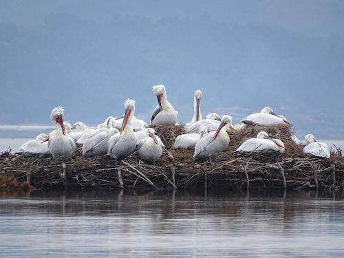 Group of about a dozen large pelicans on water platform made of sticks.