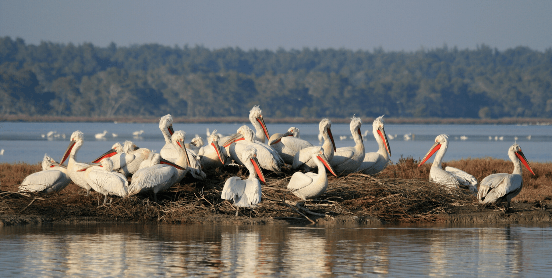 Group of large white birds on manmade island.