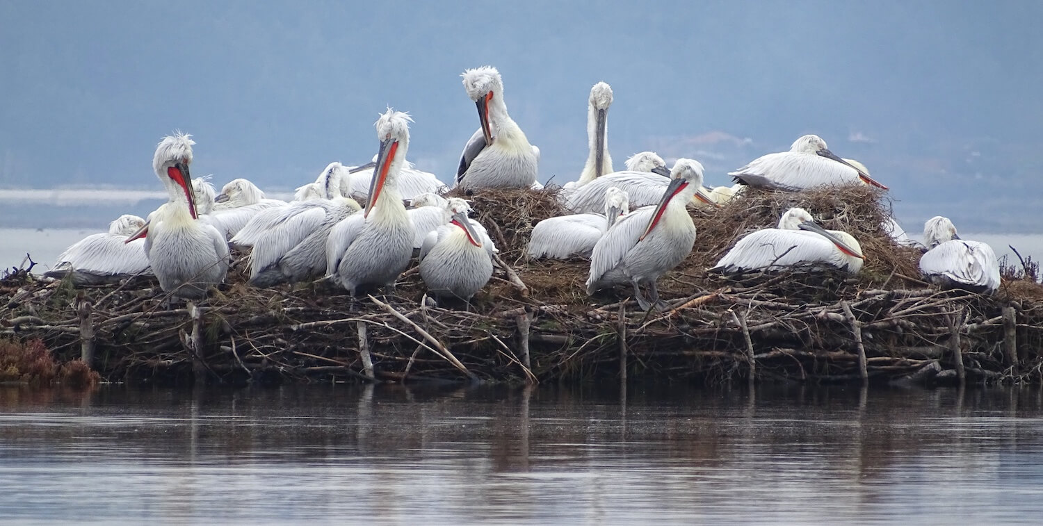 Group of Dalmatian pelicans on man-made raft.