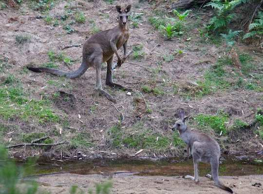 Two large grayish-brown kangaroos stand near a stream in Australia.