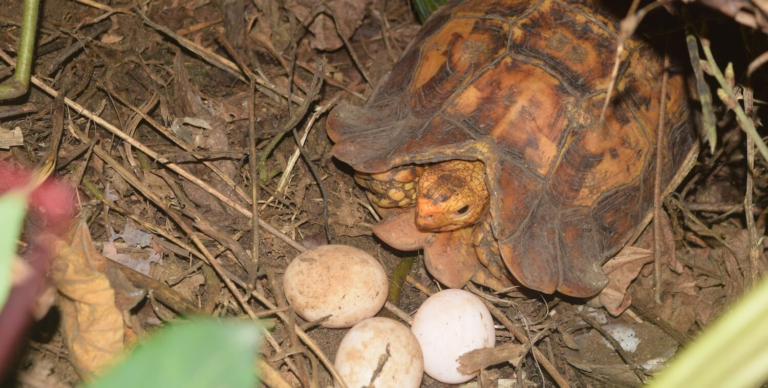 Close-up of reddish-brown tortoise with 3 white eggs.