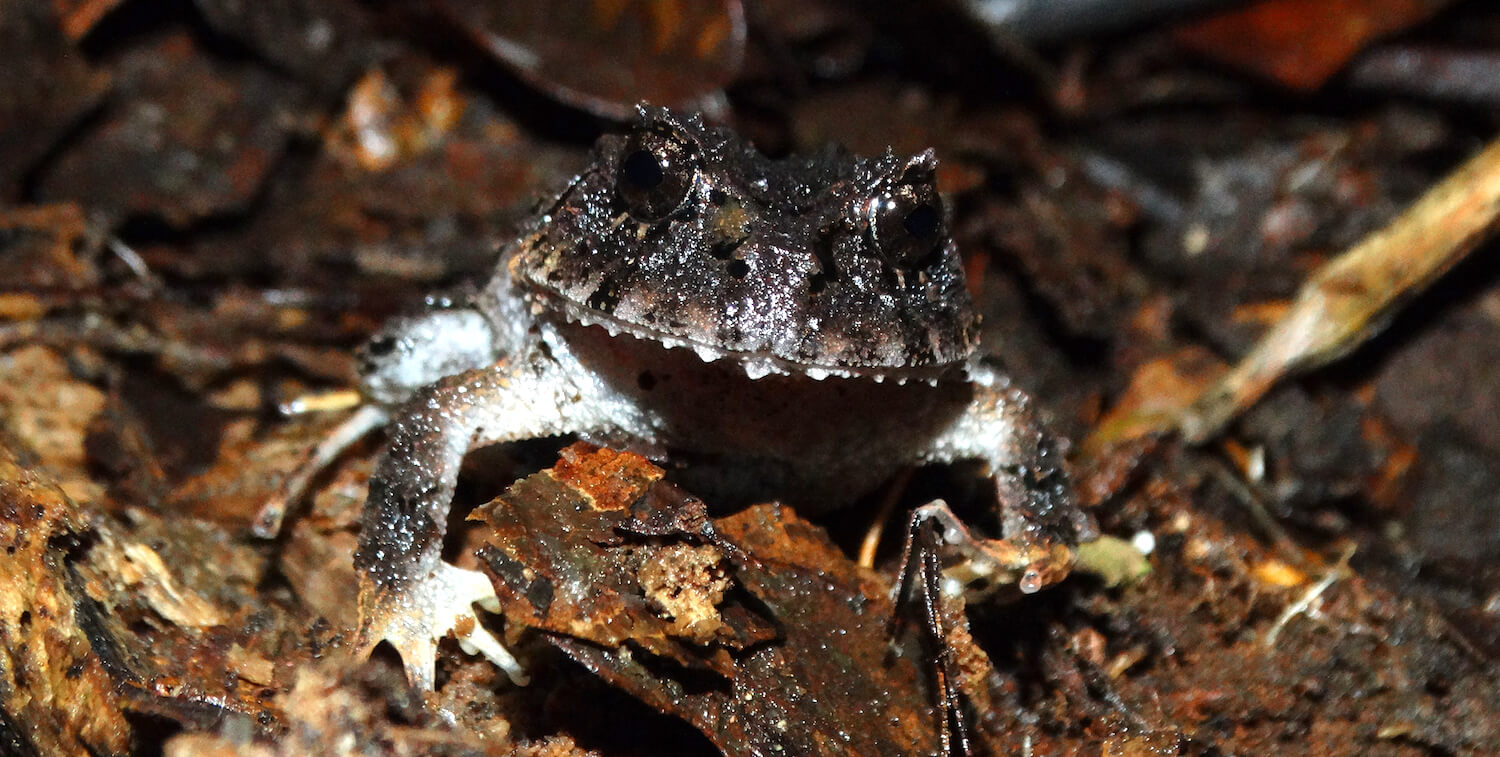 Close-up of black frog with white underbelly.