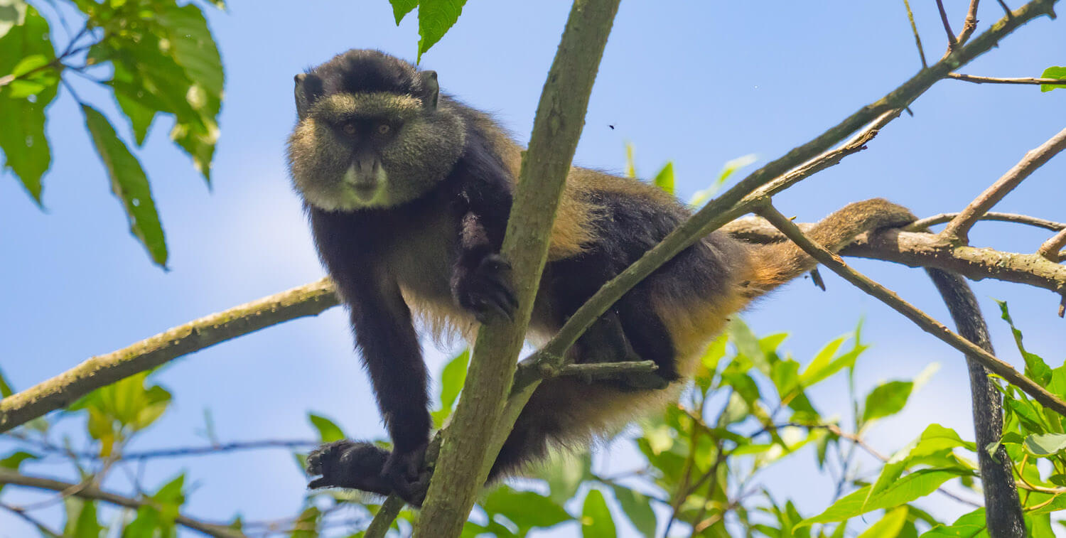 Close-up of monkey with yellowish and black hair looking down from tree.