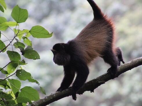 Golden monkey on tree limb.