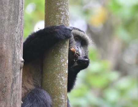 Monkey holding onto tree trunk, eating something it's holding in its hand.