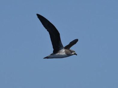 Black-and-white bird in flight amidst a blue, cloudless sky.