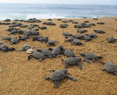 Many sea turtle hatchlings on beach.