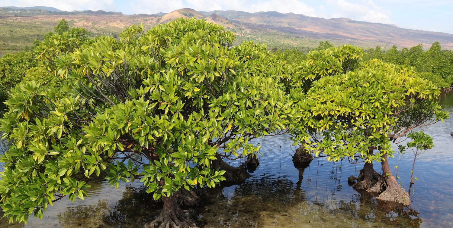 Close-up of green, bush-like plant in mangrove.