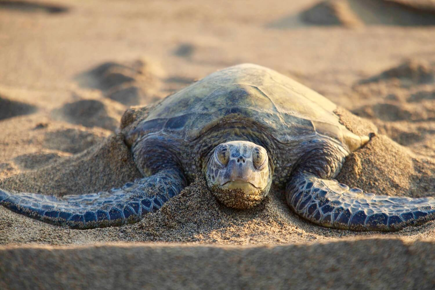 Green turtle on sand, looking straight at camera.