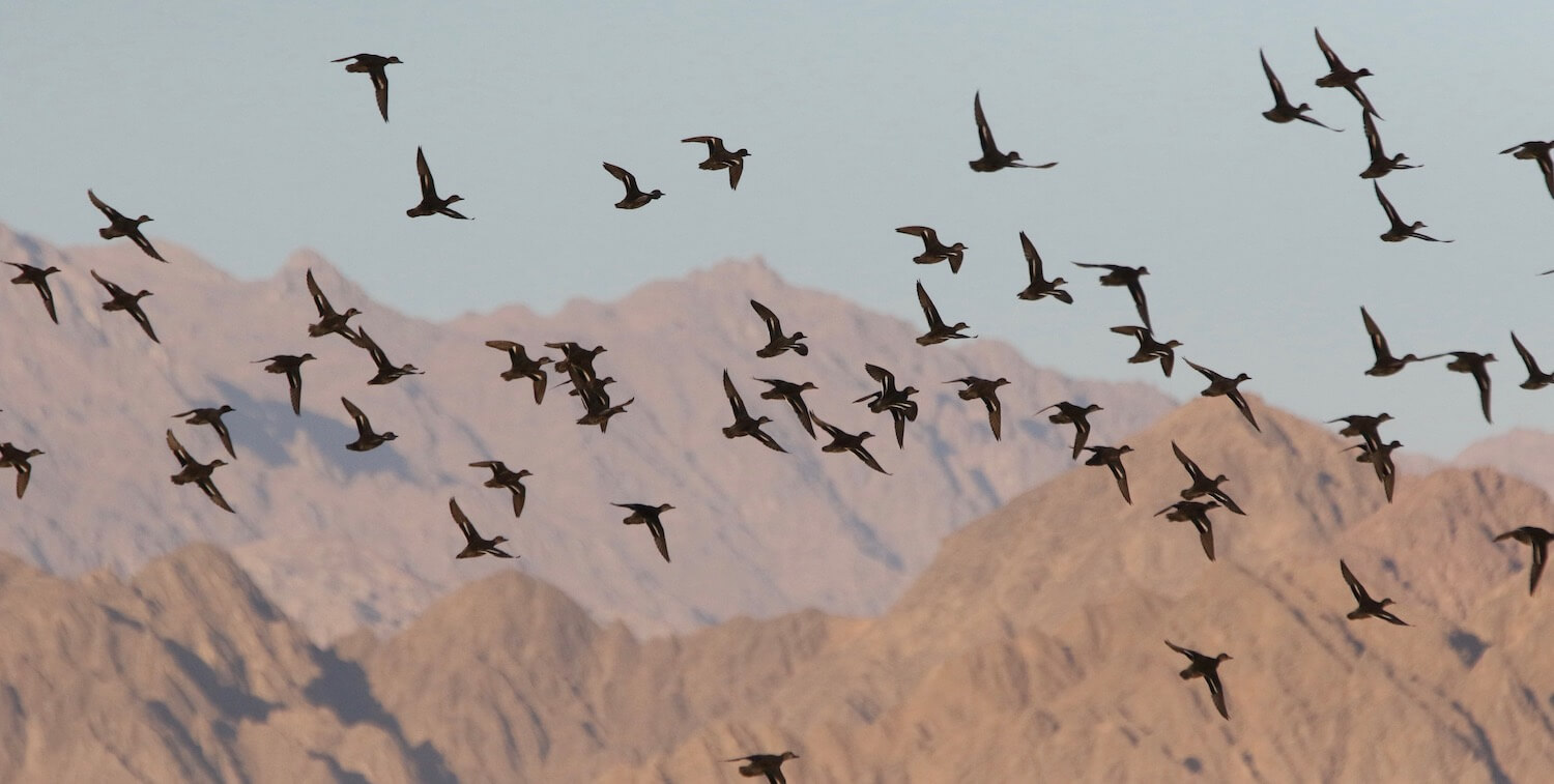 Birds flying overhead, brown mountains in background.
