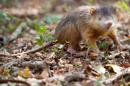 Close-up of small, brown mammal with long, pointed nose