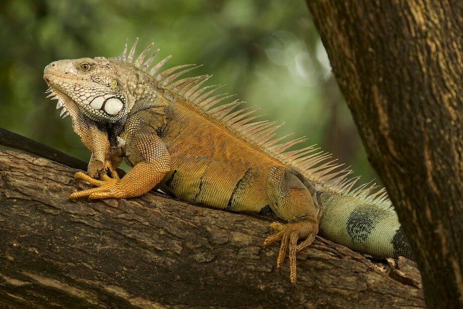 Iguana on tree limb in Ecuador.
