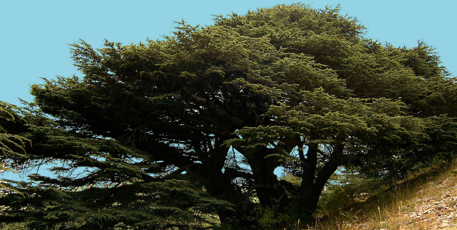 Large cedar tree on sloping hill.