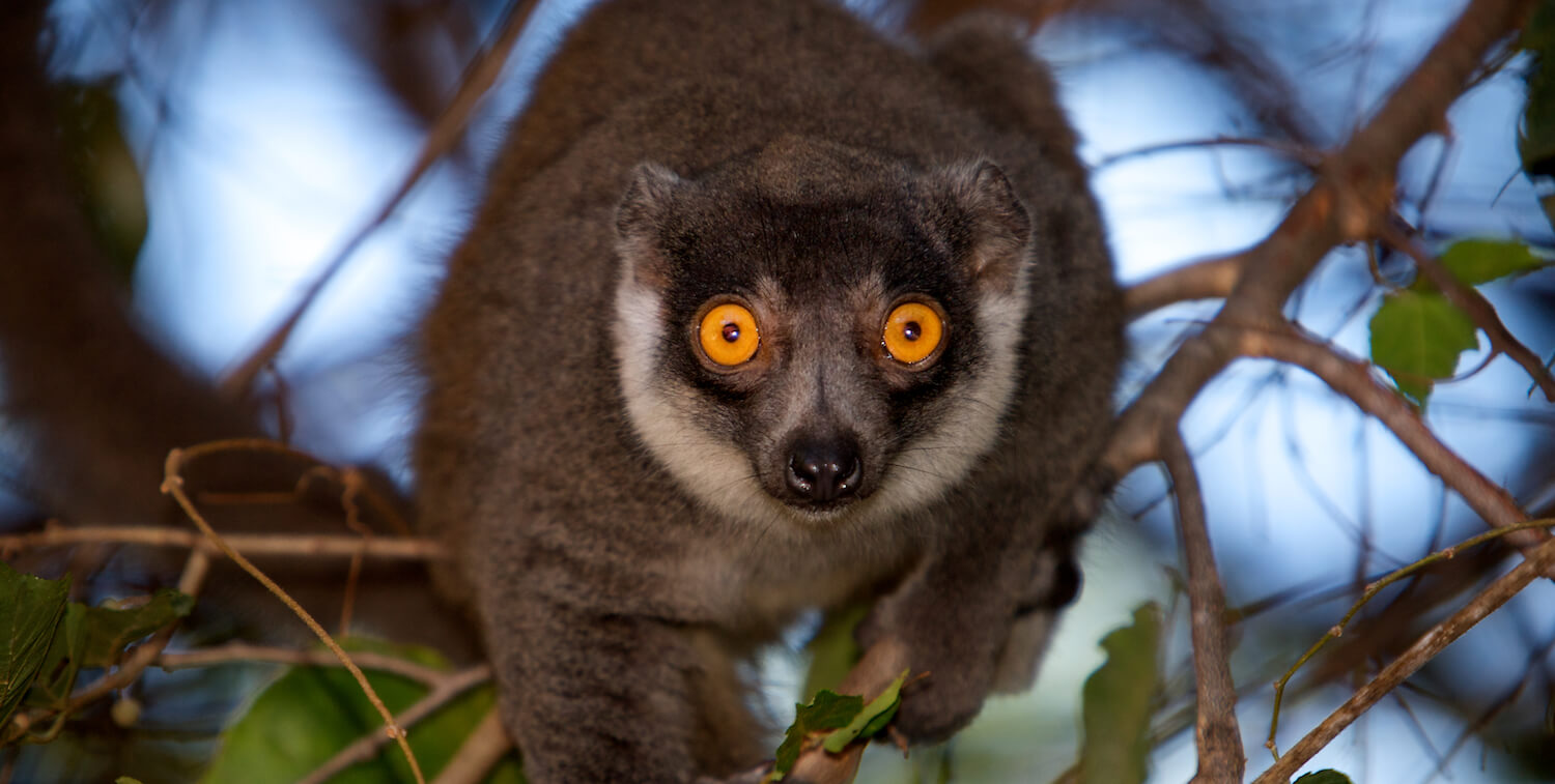 Close-up of lemur in tree looking directly into camera.
