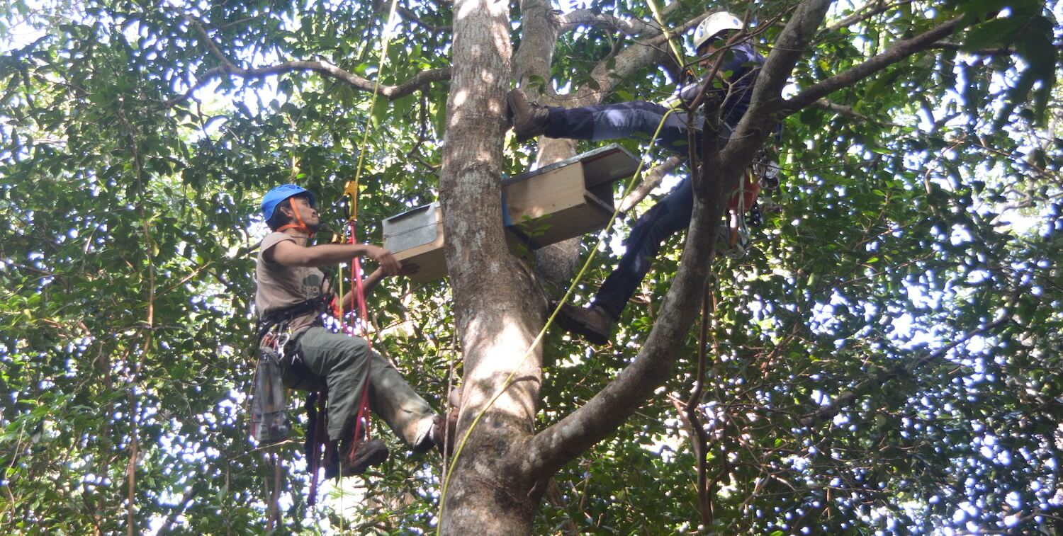 Two people with helmets and attached to ropes are high up in a tree preparing a wood box.