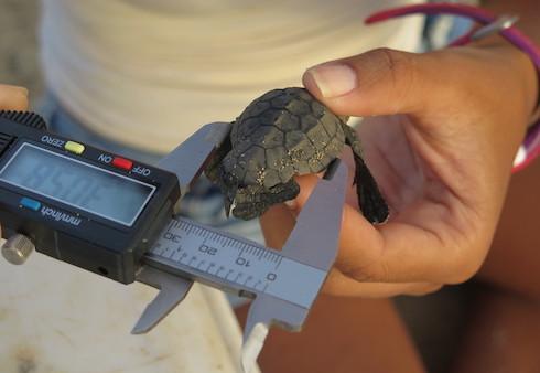 Closeup of measuring sea turtle hatchling.