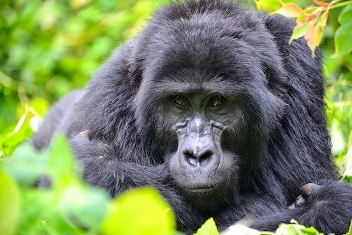 Close-up of adult mountain gorilla.