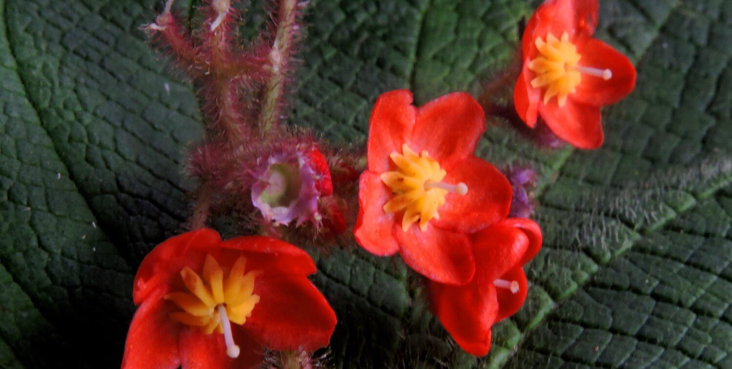 Close-up of small, delicate red flowers with large, deep-green leaves.